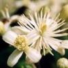 Bach virágeszencia iszalag 10 ml