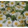 Farfalla - Kamille römisch, Demeter, 1 ml 1