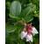 Herbatrend áfonyalevél gyógynövénytea, 40 g