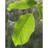 Herbatrend diófalevél gyógynövénytea, 40 g