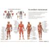Stiefel Könyökalátét, kétoldalas, A3, STIEFEL Az emberi vázizomzat / érzékszervek (VTKA305)