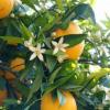 Mosó Mami Virágvíz, 250 ml - Narancsvirág