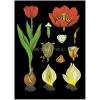 Stiefel Tulipán oktatótabló