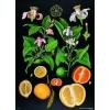 Stiefel Citrusfélék oktatótabló