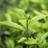 Teafa illóolaj (Melaleuca alternifolia) - 10 ml