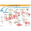 Comenius Az állatok mozgása