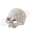 ExoTerra Primate Skull főemlőskoponya small 9cm