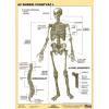 Stiefel Az emberi csontváz I. DUO